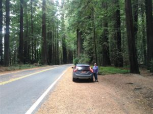 Road through Redwoods (Medium)